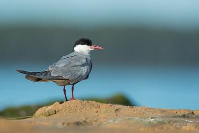 Whiskered Tern, Lake Wollumboola, NSW, Jan 2015-2