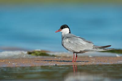 Whiskered Tern, Lake Wollumboola, NSW, Jan 2015-3