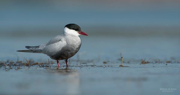 Whiskered Tern, Lake Wolumboola, NSW, Aus, Nov 2013