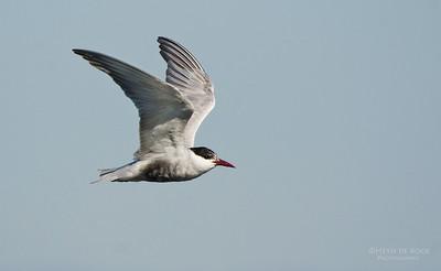 Whiskered Tern, Lake Claredon, QLD, Aus, Nov 2011