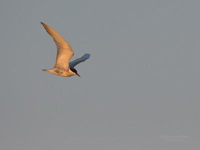 Whiskered Tern, Chobe River, NAM, Oct 2016-1