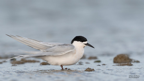 White-fronted Tern, Christchurch, SI, NZ, Sep 2018-12
