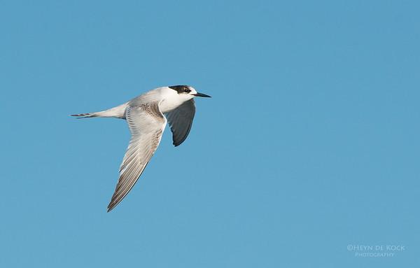 White-fronted Tern, Wollongong Pelagic, NSW, Aus, Aug 2013