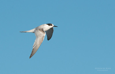 White-fronted Tern, Wollongong Pelagic, NSW, Aus, Aug 2013
