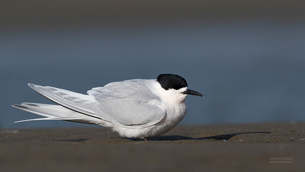 White-fronted Tern, Christchurch, SI, NZ, Sep 2018-2