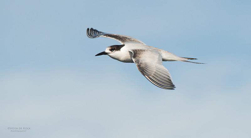 White-fronted Tern, Wollongong Pelagic, NSW, Aus, May 2014-1