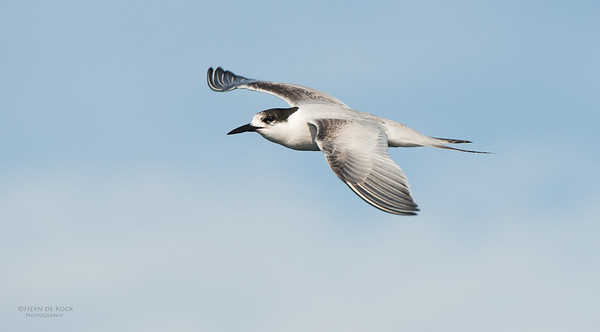 White-fronted Tern, Wollongong Pelagic, NSW, Aus, May 2014-1
