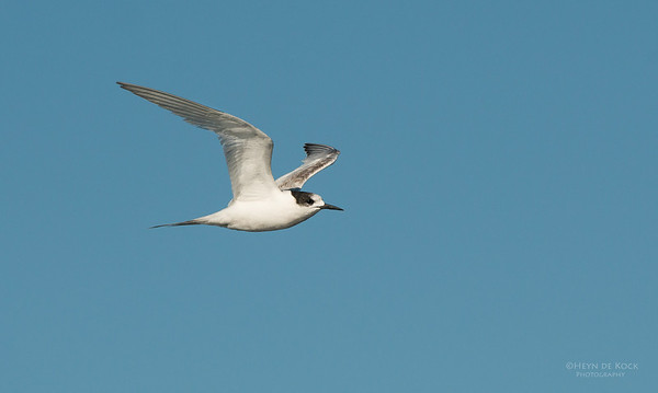 White-fronted Tern, Wollongong Pelagic, NSW, Aus, Sep 2013-1