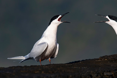 White-fronted Tern, Greymouth, SI, NZ, Sep 2018-4