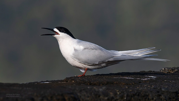 White-fronted Tern, Greymouth, SI, NZ, Sep 2018-3