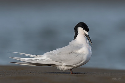 White-fronted Tern, Christchurch, SI, NZ, Sep 2018-1