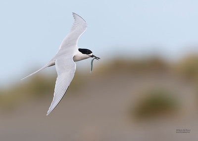 White-fronted Tern, Christchurch, SI, NZ, Sep 2018-6