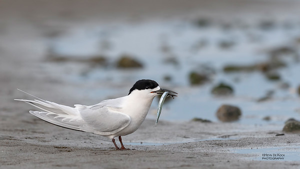 White-fronted Tern, Christchurch, SI, NZ, Sep 2018-7
