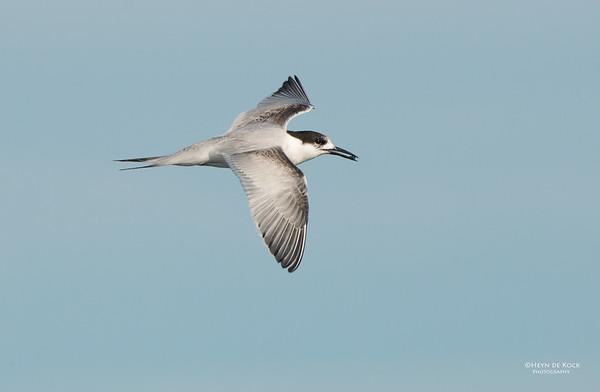 White-fronted Tern, Wollongong Pelagic, NSW, Aus, May 2014-3