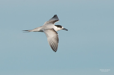 White-fronted Tern, Wollongong Pelagic, NSW, Aus, May 2014-3