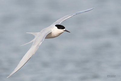 White-fronted Tern, Christchurch, SI, NZ, Sep 2018-14
