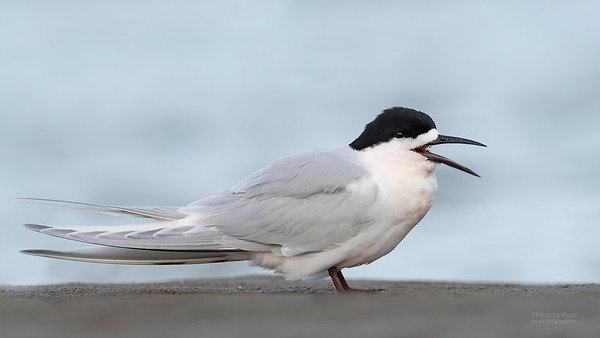 White-fronted Tern, Christchurch, SI, NZ, Sep 2018-11