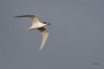 White-fronted Tern, Christchurch, SI, NZ, Sep 2018-10
