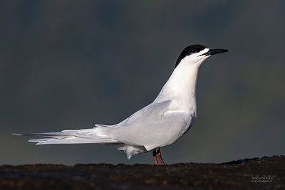 White-fronted Tern, Greymouth, SI, NZ, Sep 2018-5