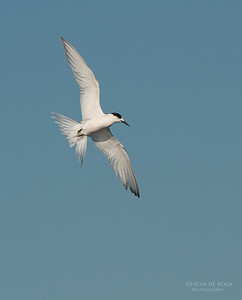 White-fronted Tern, Wollongong Pelagic, NSW, Aus, Sep 2013