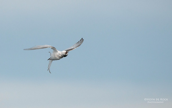 White-fronted Tern, Wollongong Pelagic, NSW, Aus, Jul 2013