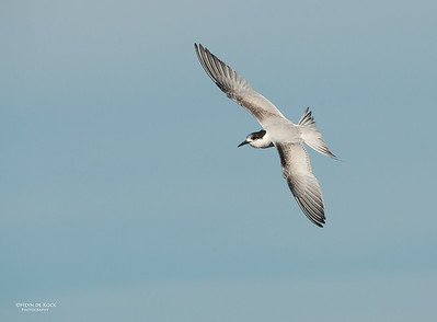 White-fronted Tern, Wollongong Pelagic, NSW, Aus, May 2014-2