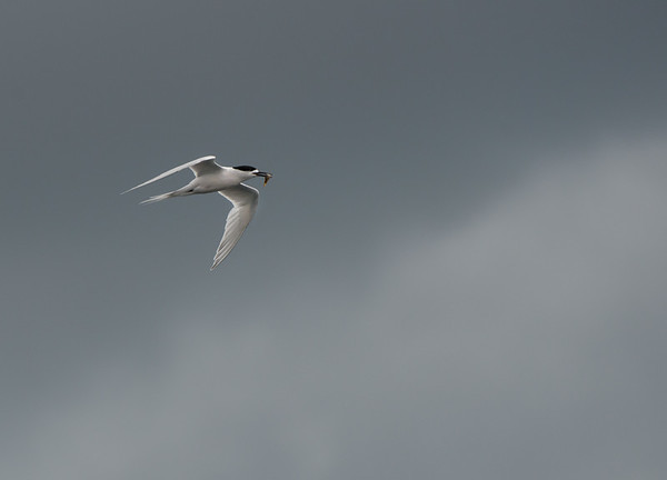 White-fronted Tern, Stewart Island Pelagic, SI, NZ, Jan 2013
