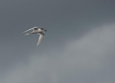 White-fronted Tern, Stewart Island Pelagic, SI, NZ, Jan 2013