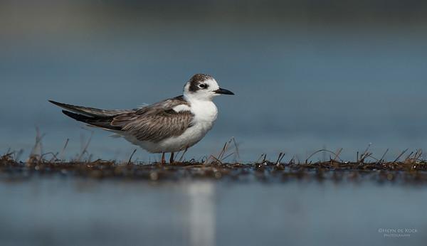 White-winged Tern, Lake Wolumboola, NSW, Aus, Nov 2013-1