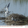 Forster's Terns P24807
