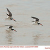 Black Skimmers A69885