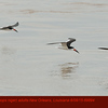 Black Skimmers A69894