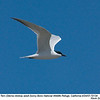 Gull-billed Tern A72134