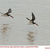 Black Skimmers A69904