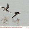 Black Skimmers A69899