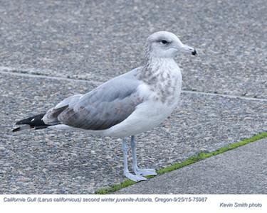 California Gull 2nd Winter J75987