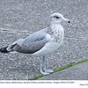 California Gull 2nd Winter J75987