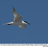 Gull-billed Tern A72135