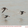 Black Skimmers A69886