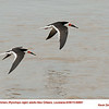 Black Skimmers A69891