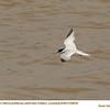 Least Tern A69839
