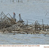Forster's Terns P24991