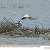 Forster's Terns P24988