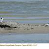 Least Terns P11937