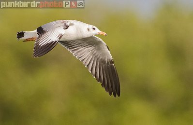 Common Black-headed Gull (Larus ridibundus)