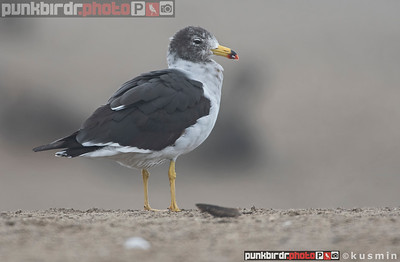 Belcher's Gull (Larus belcheri)