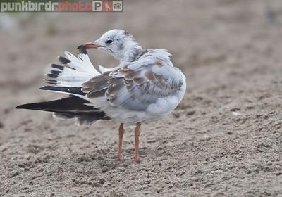 Gray-hooded Gull (Chroicocephalus cirrocephalus)