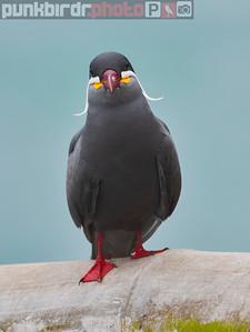 Inca Tern (Larosterna inca)