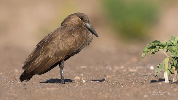 Hamerkop, Mashatu GR, Botswana, May 2017-1