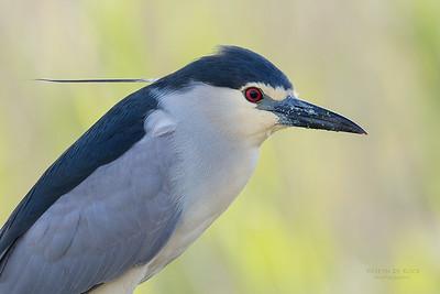 Black-crowned Night Heron, Intaka Island, Cape Town, Sept 2016-1